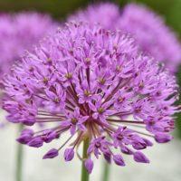 ornamental-onion-3412883__340
